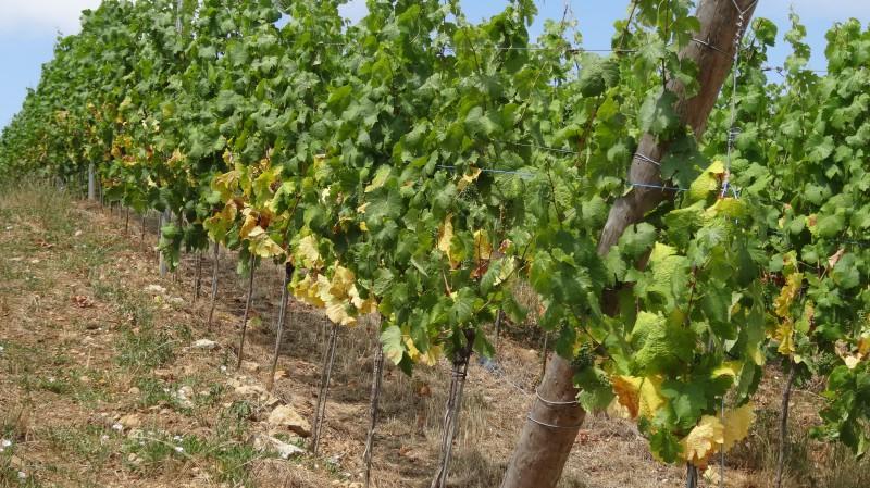Sécheresse vigne