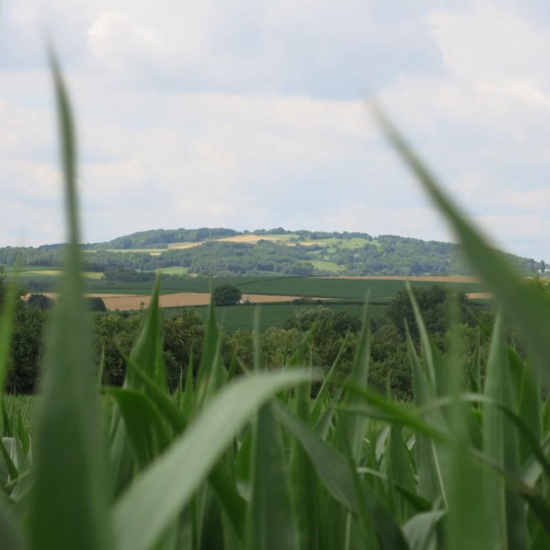 Paysage-agricole-maïs.JPG