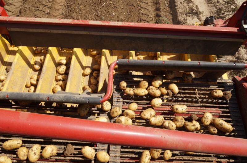 PommedeterreDSC01523.jpg