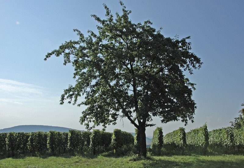 arbre isolé vigne