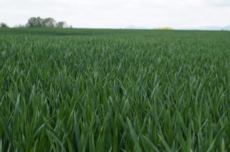 Opti-drone sur blé CAC 090517DSC02817.JPG