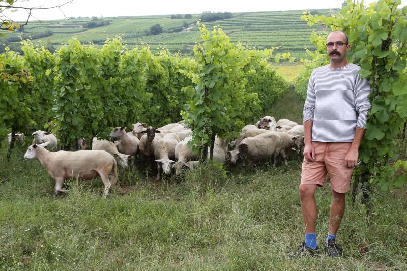 CV - Domaine Muller - moutons - 01.jpg