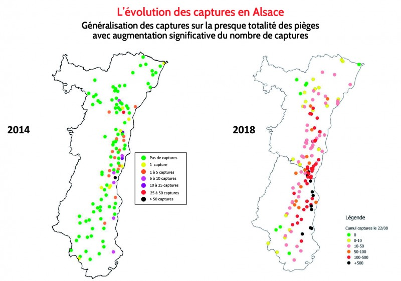 Chrysomèles -Evolution des captures en Alsace.jpg