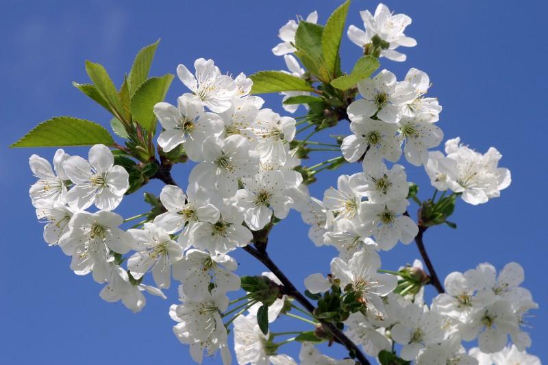 Cerisier_5.jpg