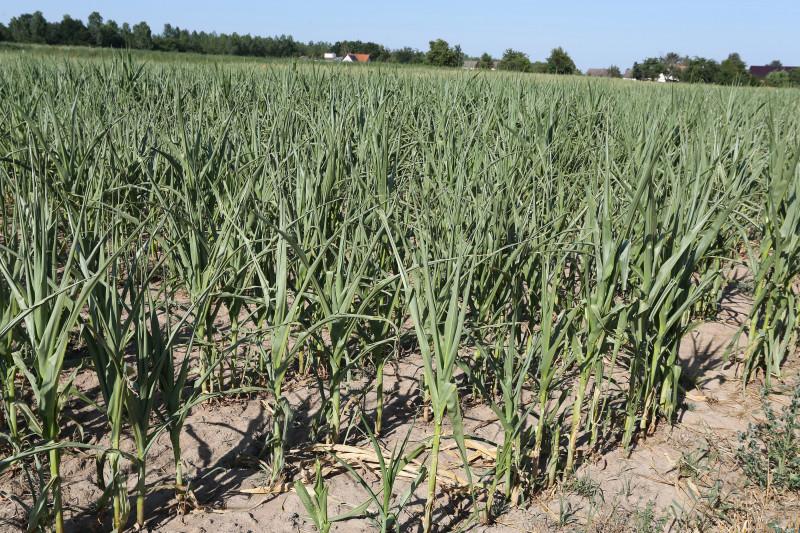 Sortie sécheresse - 07 - maïs.jpg