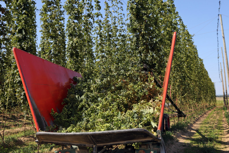 Sécheresse récolte houblon - 06.jpg
