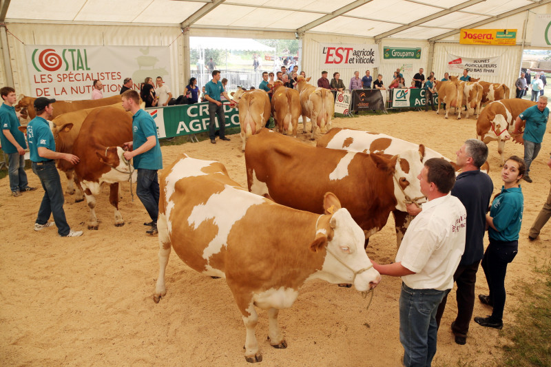 Festival de l'élevage - Simmental - Lots.jpg