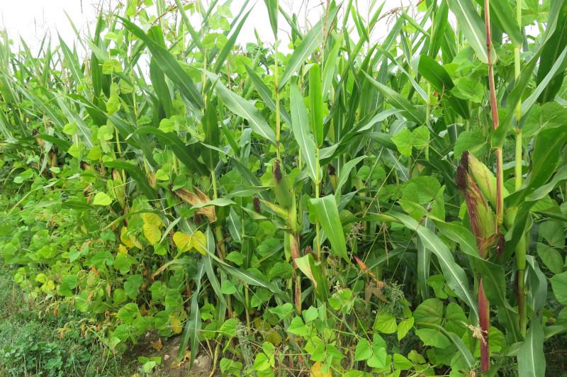 maïs-haricot-IMG_4992.JPG