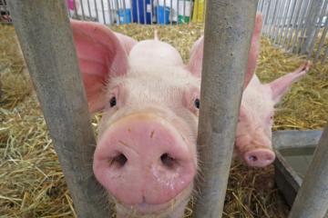 Foire017-Journée porcs