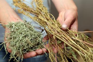 Viticulture Bio - 14 - Prêle - Reine des prés.jpg