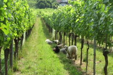 moutons%20dans%20les%20vignes.jpg