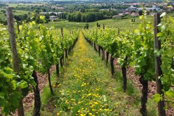 fleurs et graminées sauvages_vignes_interrang_ribeauvillé_Nungesser Semences_sauvage_locale_2020